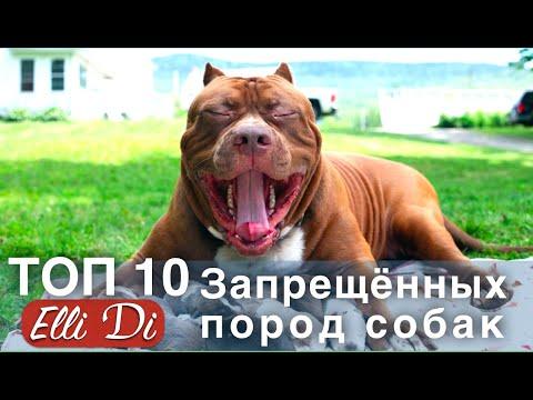 ТОП 10 ЗАПРЕЩЕННЫХ ПОРОД СОБАК | ИНТЕРЕСНЫЕ ФАКТЫ | Elli Di