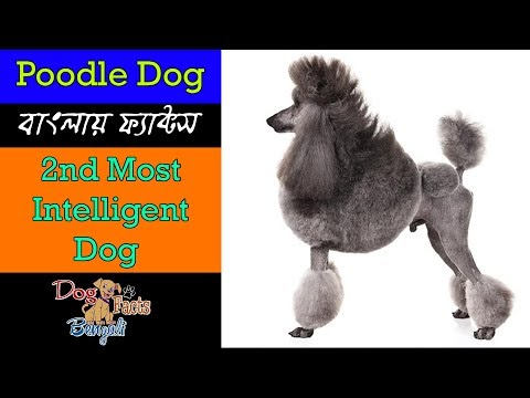 Poodle dog facts in Bengali | World's second most intelligent dog | Dog Facts Bengali