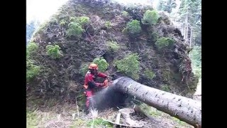 Chainsaw Husqvarna 357 XP - Complete processing uprooted tree, cutting fisprove, lopping, handling.