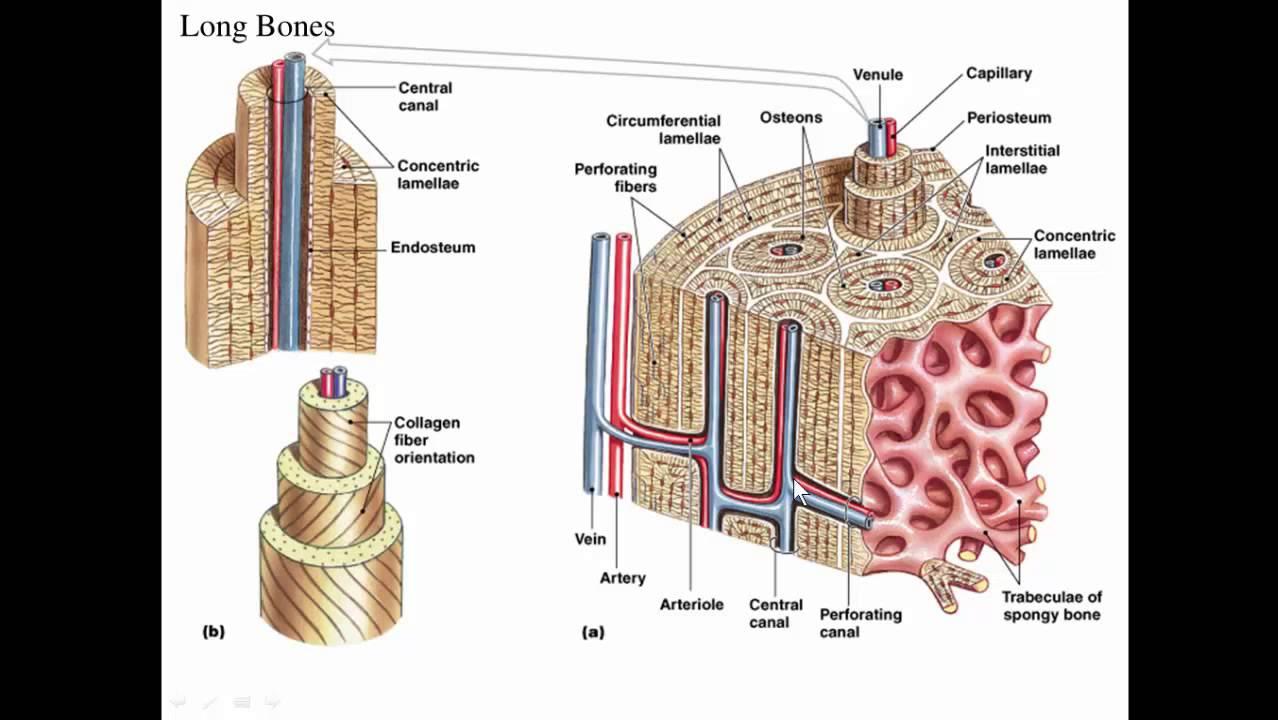 spongy bone diagram [ 1278 x 720 Pixel ]