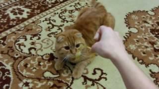 Очень милый рыжий кот (КотоПес)