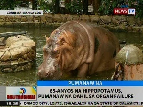 BT: 65-anyos na Hippopotamus, pumanaw na dahil sa organ failure