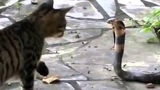 Бестрашные кошки против змей.