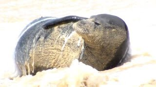 Hawaiian Monk seals &other oceanlife