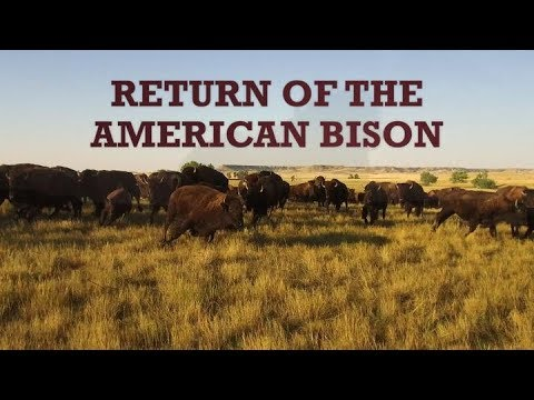 Return of the American Bison