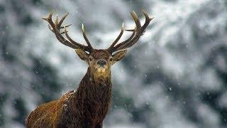 Благородный олень зимой