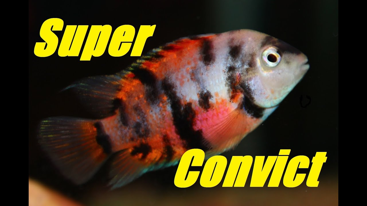 Convict Cichlid (Calico or Marble) - Intense Coloration - YouTube