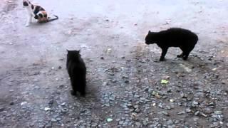 Разборка черных котов.