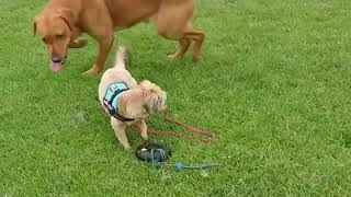 Littlw dog training for worlds strongest dog lol