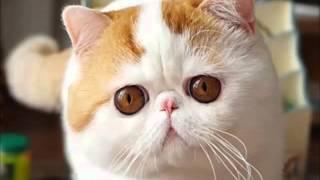 Экзот - плюшевый кот без всяких хлопот
