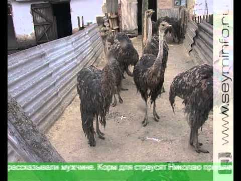 Курский фермер разводит страусов