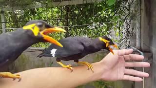 Huấn luyện đôi chim nhồng và chọc ghẹo con rắn. GCSQ