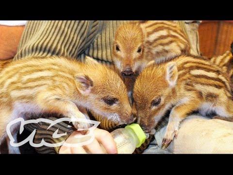 Cute Baby Boar Piglets!
