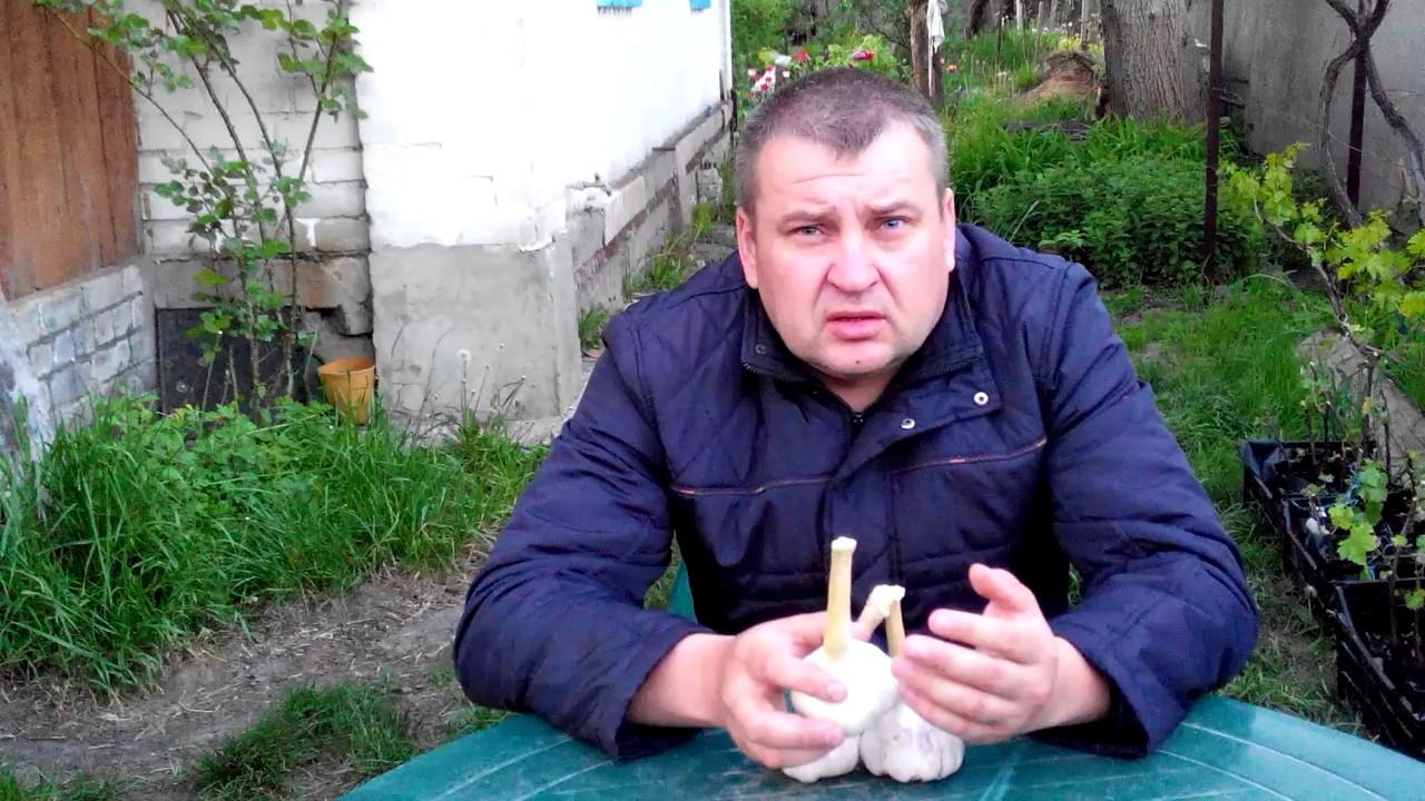 Семена озимого чеснока белорусских и французских сортов в интернет магазине листики-иголки, низкие цены, доставка почтой по всей россии.