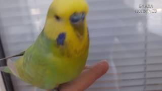 ☕ Что нужно волнистику для счастья! ヅ Листья лимона и бассейн :)