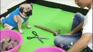 Main batu gun ting kertas anjing vs manusia