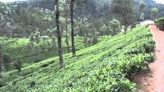 Campos de té de Pedro Estate Tea Factory (Nuwara Eliya, Sri Lanka)