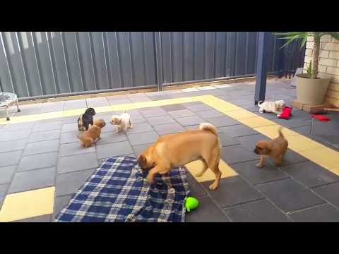 Run Daisy. Jack and Mangos Pugalier Puppies are 5 weeks old
