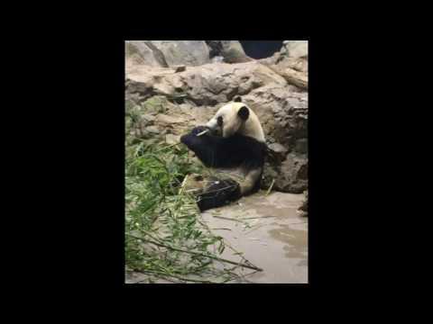 Smithsonian national zoo PANDA