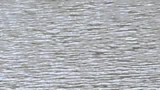 京都府舞鶴市(西舞鶴)の河川のサケが遡上するのをはじめてみました。...