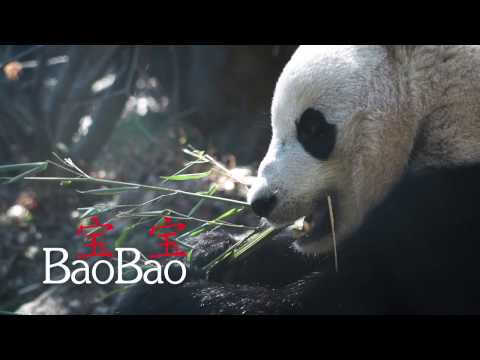Giant Panda Bao Bao: All the Feels