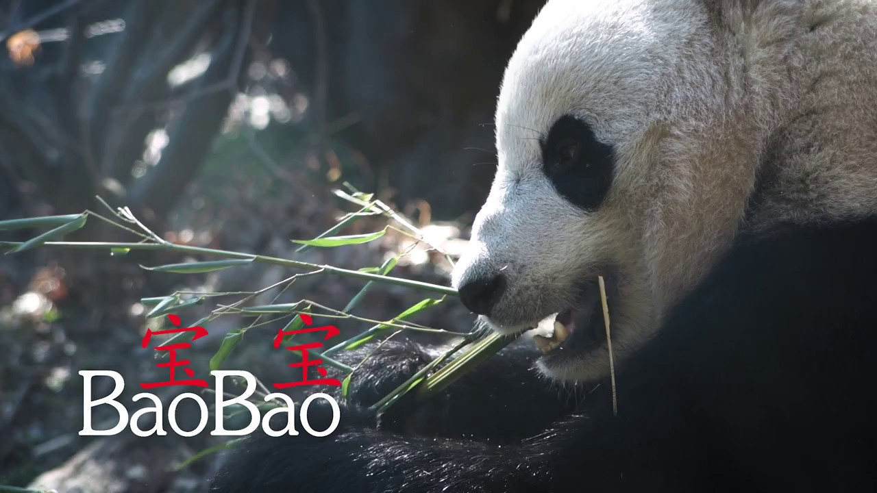 giant pandas the possible end to The giant panda is a large mammal  giant pandas: the possible end to an iconic symbol we all know about the giant panda and how important of a species they.