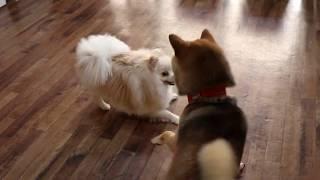 """柴犬の""""シンバくん""""とポメラニアンの""""そらくん""""の遊び! 朝は""""シンバく..."""