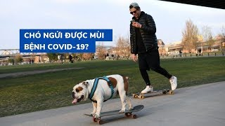 Liệu chó có thể ngửi được mùi bệnh Covid-19?