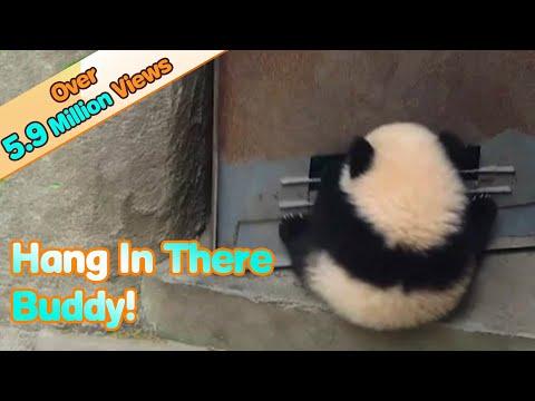 Panda baby hangs on door when it opens and has fun! | iPanda
