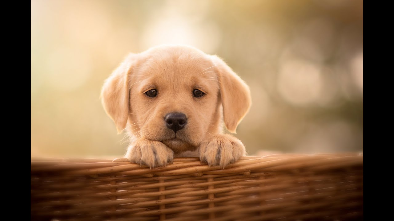 30 MIN CUTE PUPPIES Relaxing Music, Stress Relief Music, Meditation Music, Sleep Music, Study,