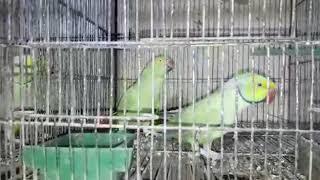 MERA | GREEN PARROT KA PAIR SET HO GAYA | PART _ 2 | PBI _ OFFICIAL _ Youtube