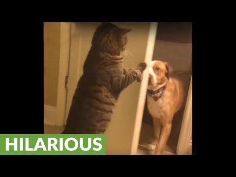 Cat slaps dog in the face, shuts door on him