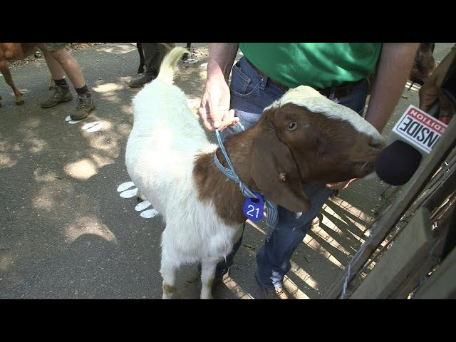 Very Hungry Goats Will Chow Down on Park's Harmful Plants
