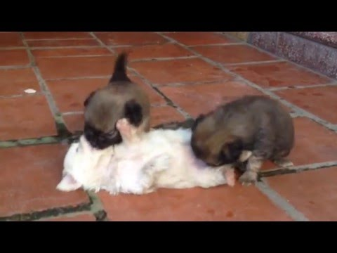 cute puppies howling, playing, fighting with each other