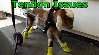Goat Kid With Overextended Tendons | Kinder Goats