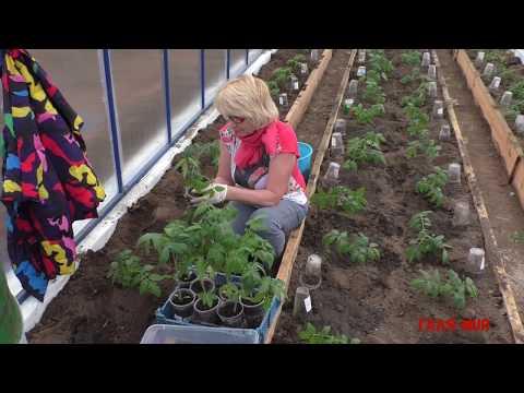Простой способ высадки томатов в теплицу