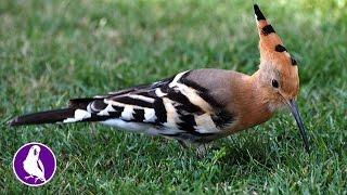 Удод (близко). Голоса птиц.  Птица - символ 2016 года в России