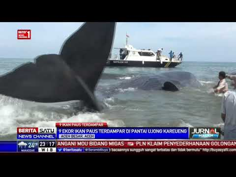 9 Ekor Paus Terdampar di Pantai Ujong Kareueng