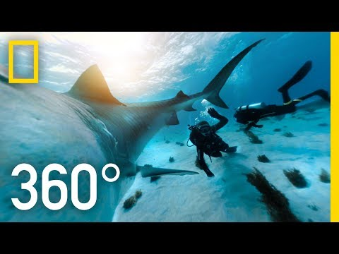 360° Tiger Shark Encounter in the Bahamas | SharkFest