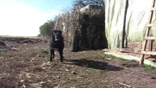 Romanian Raven Shepherd Dog - Ciobanesc Corb - Ursu