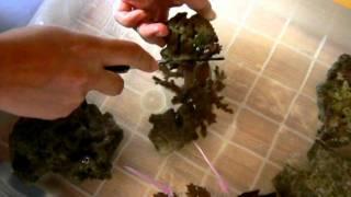 チヂミトサカとディスクコーラルを切る1 岩井ムートンと海水魚飼育