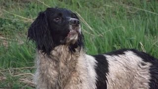 Gundog Training - Simple Retrieve - English Springer Spaniel