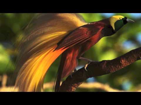 Syom Sandik - Biak West Papua Music