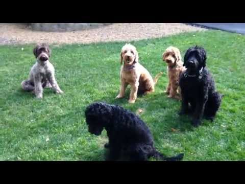 Pine State Australian Labradoodles' dogs