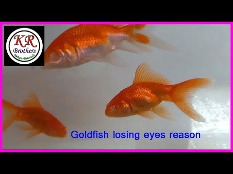 Goldfish Losing Eyes Reason
