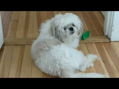 Max Shihtzu  puppy  playing with teeth cleaner
