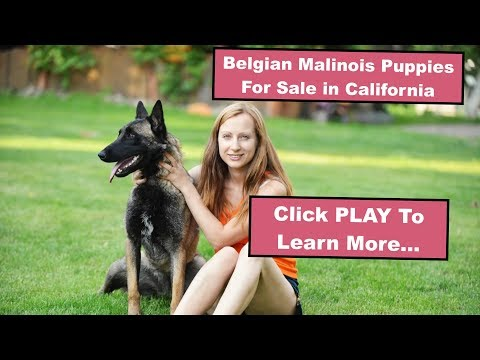 AKC Belgian Malinois Puppies For Sale In California - CA Pure Malinois Breeders