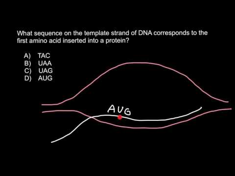 How to find sequence of the template strand of dna for What is the template strand