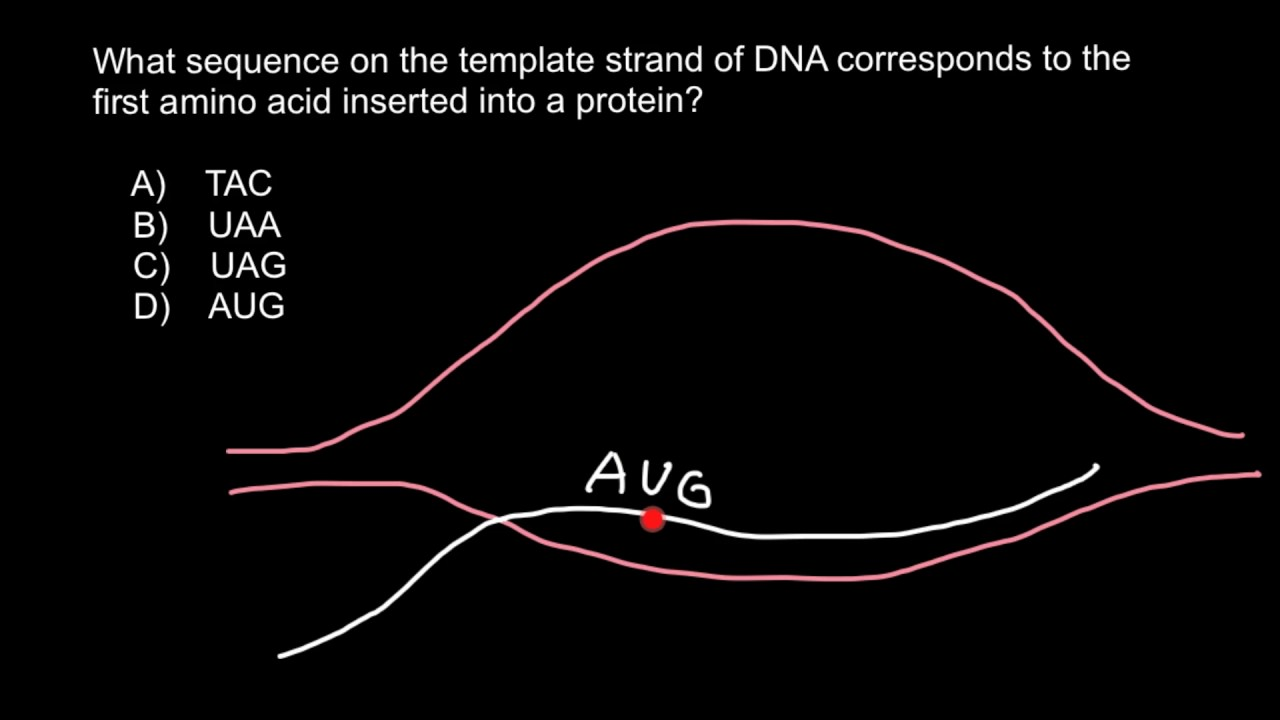 what is a template in dna - how to find sequence on the template strand of dna youtube