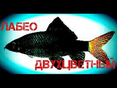 Аквариумные рыбки.Лабео двухцветный